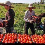صادرات مازاد تولید گوجه فرنگی استان زنجان