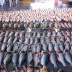 ممنوعیت واردات ماهیان گرم آبی به عراق